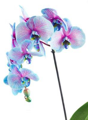 Obraz stonek modrých orchidejí