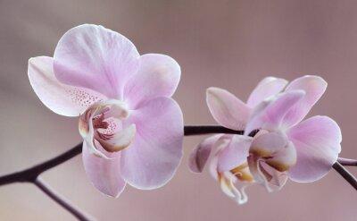 Obraz Storczyki - Orchidea