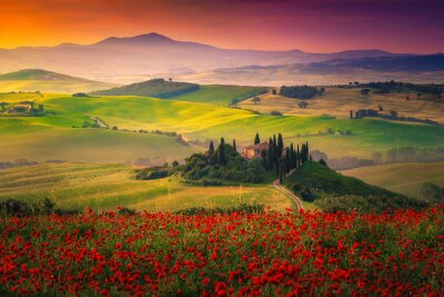 Obraz Stunning red poppies blossom on meadows in Tuscany, Pienza, Italy