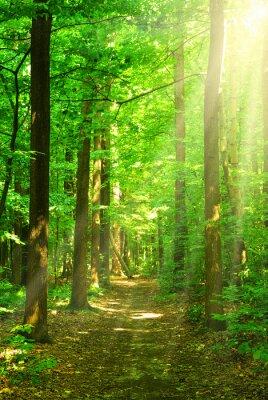 Obraz sunlight forest