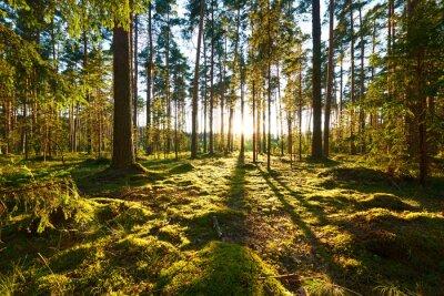 Obraz Sunrise v borovém lese