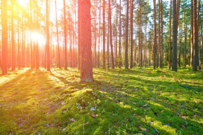 Obraz Sunrise v borovicovém lese