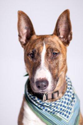 Obraz süßer Hund mit Halstuch schaut am Betrachter vorbei