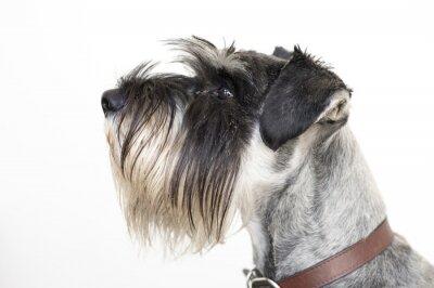 Obraz The wise Schnauzer dog