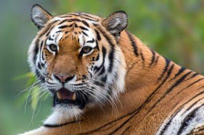 Obraz Tiger