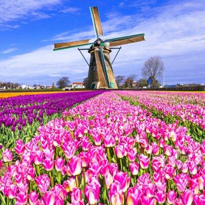 Obraz Tradiční Holland venkov - větrné mlýny a tulipány