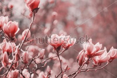 Obraz Trendová fotografie na téma nové barvy roku 2019 - Living Coral. Jarní květiny magnólie na přírodním pozadí.