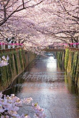 Obraz Třešňový květ lemované Meguro kanál v Tokiu, Japonsko.