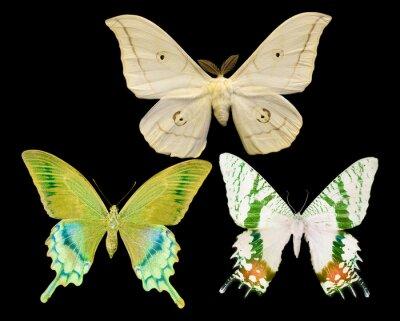 Obraz Tři motýli izolované na černém