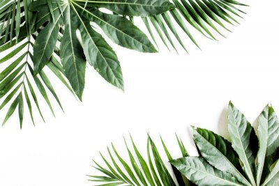 Obraz Tropical palm leaves Aralia isolated on white background. Tropical nature concept.