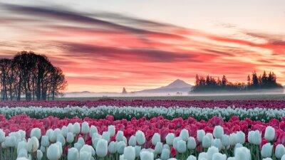 Obraz tulipánové pole pod růžovým východem slunce s horou v pozadí