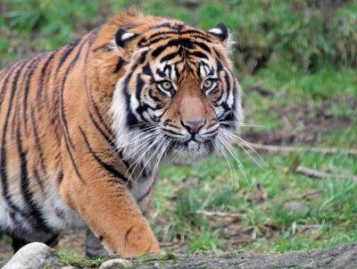 Obraz Tygr sumaterský