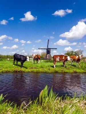 Obraz Typické holandské krajiny s krav na louce a větrný mlýn v blízkosti vody