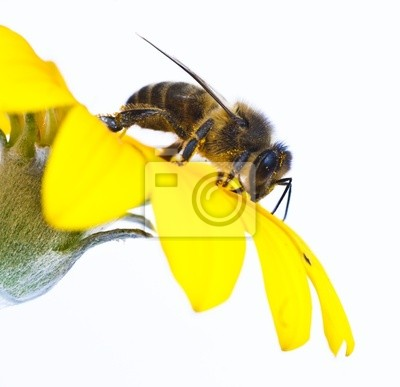 Obraz včela na květu