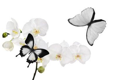 Obraz velké bílé květy orchidejí a dva motýli