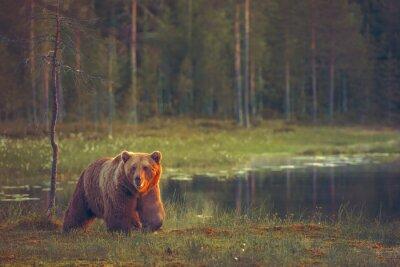 Obraz Velký muž medvěd chůze v močálu při západu slunce