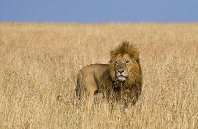 Obraz Velký samec lva v savaně. Národní park. Keňa. Tanzanie. Masai Mara. Serengeti. Vynikající ukázkou.