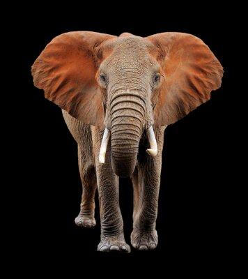 Obraz Velký slon na černém pozadí