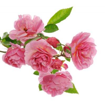 Obraz větev růžové lezení růže