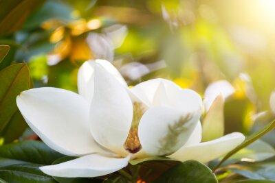 Obraz Větev s květu bílé magnólie zblízka