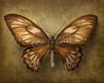 Obraz Vintage pozadí s hnědým butterfly