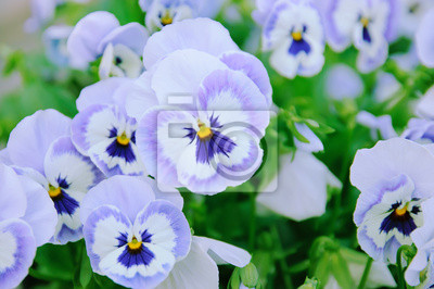 Violet maceška