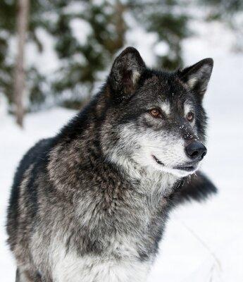 Obraz Vlk