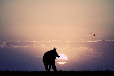 Obraz vlk při západu slunce