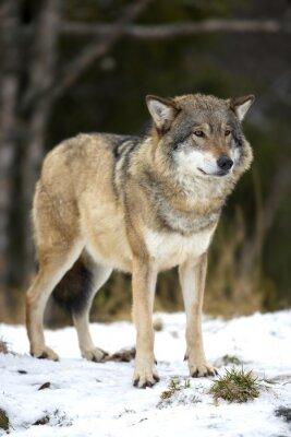 Obraz Vlk stojí v chladném zimním lese
