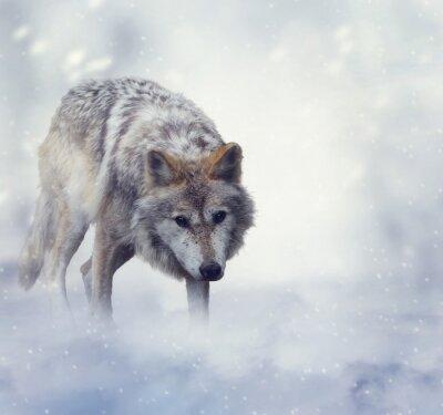 Obraz Vlk v zimním období