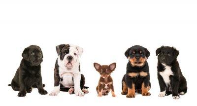 Obraz Všechny druhy roztomilé odlišné plemeno štěně psů na bílém pozadí, jako čivava, rotvajler, border kolie, Labrador a anglický buldok