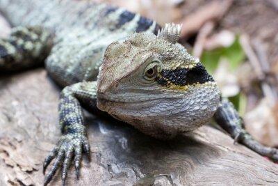 Obraz Východní vodní drak