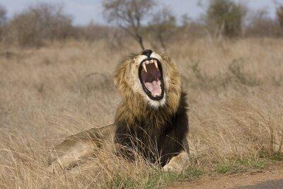 Obraz wild male lion yawning in the bush