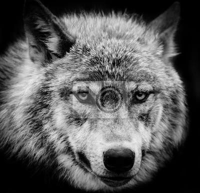 Obraz Wolf Eyes černá a bílá hlava záběr z Gray vlka.