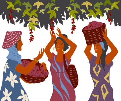 Obraz Women with basket pick coffee beans from the bush on plantation, image for cafe and packaging. Coffee harvest gatherers in work flat cartoon vector illustration isolated on white background.