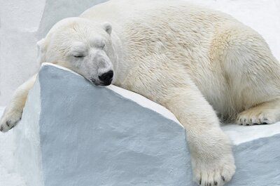 Obraz Белый медведь.