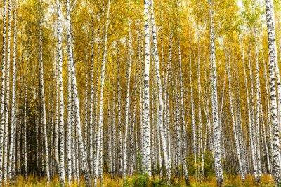 Obraz Začátkem podzimu březový háj