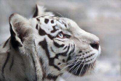 Obraz Zblízka portrét bílého bengálského tygra. Nejkrásnější zvířat a velmi nebezpečné zvíře na světě. Tato těžká raptor je perla volně žijících živočichů. Zvíře tvář portrét.