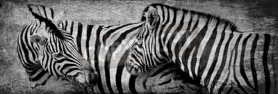 Obraz Zblízka zebry pasoucí se na suché louky