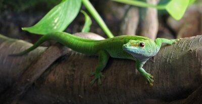 Obraz Zelená Gecko, posazený na pobočce
