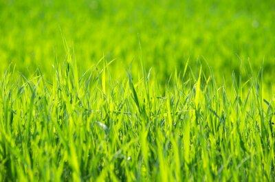 Obraz Zelená tráva