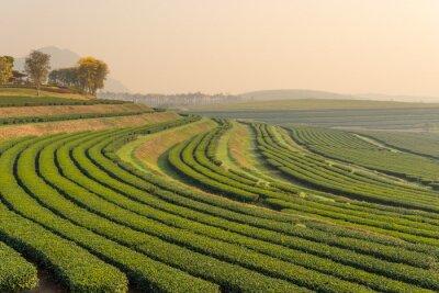 Obraz Zelený čaj farma vzor v dopoledních hodinách