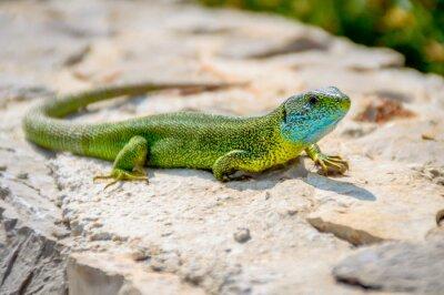Obraz Zelený smaragd gekon ještěrka opalování na skále