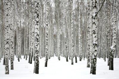 Obraz Zimní bříza les