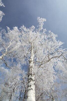 Obraz Zimní břízy les