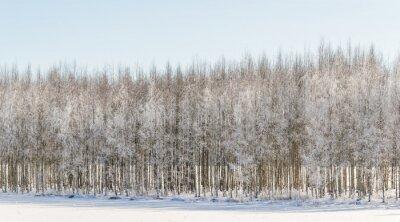 Obraz Zimní břízy ve Finsku