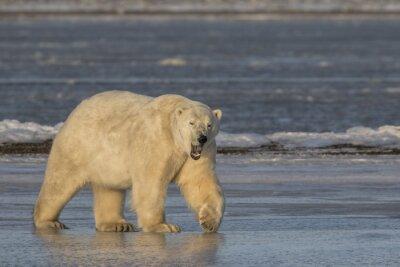 Obraz Zívání Lední medvěd chůzi na ledě