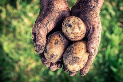 Obraz Zralé brambory v rukou