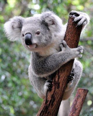 Obraz Zvědavý koala