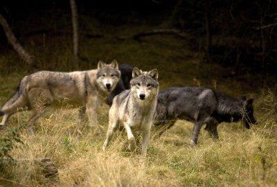Obraz Zvědavý Vlci v oboru
